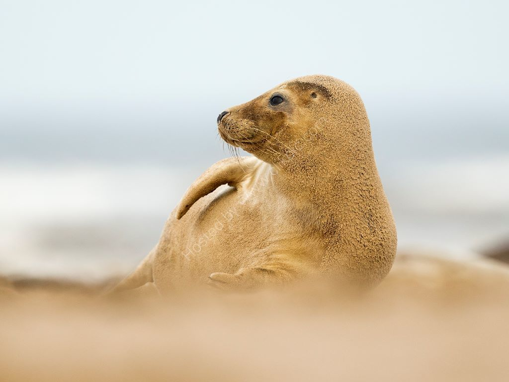 Sand on a Seal