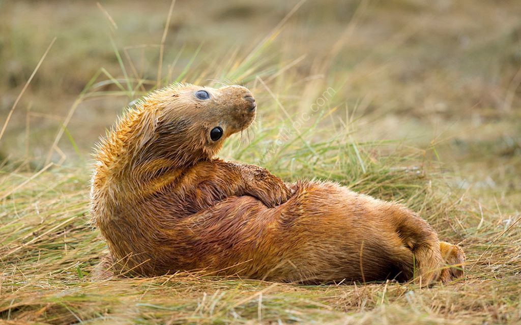A Ginger Seal