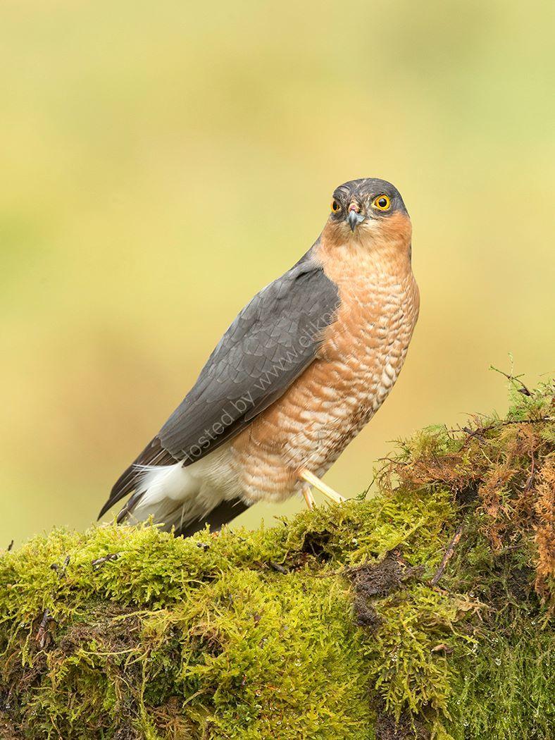 Male Sparrowhawk 2