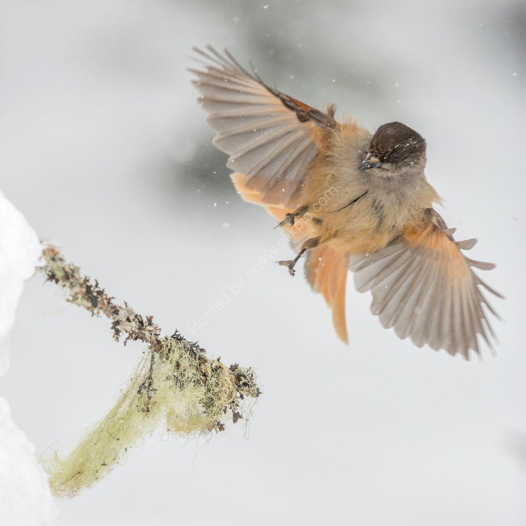 Landing jay