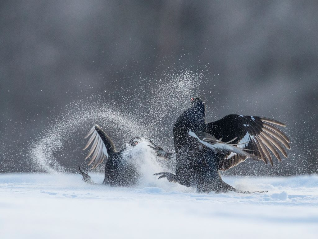 Fighting in snow