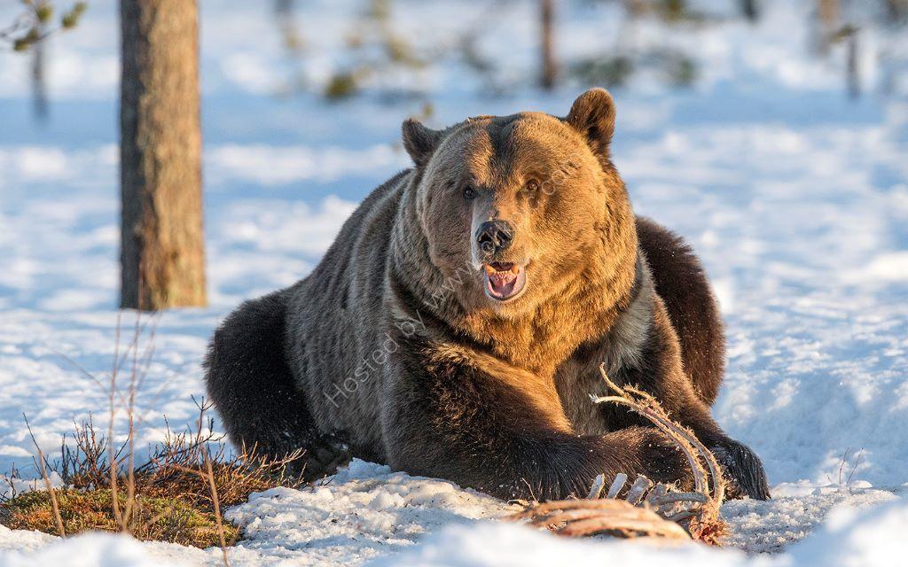 Feeding Bear