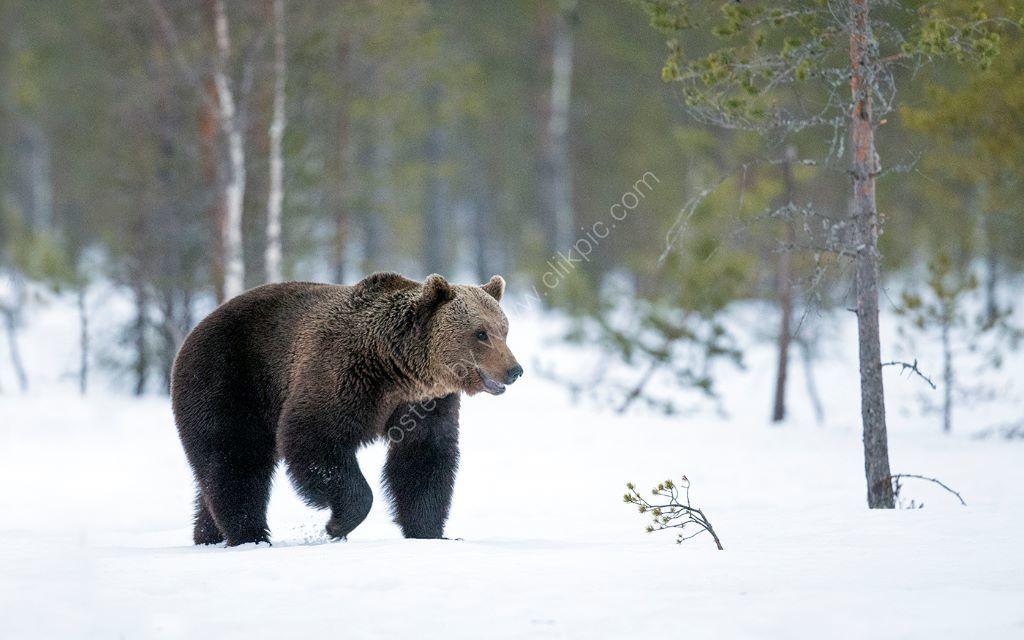 Bear in Snow 3