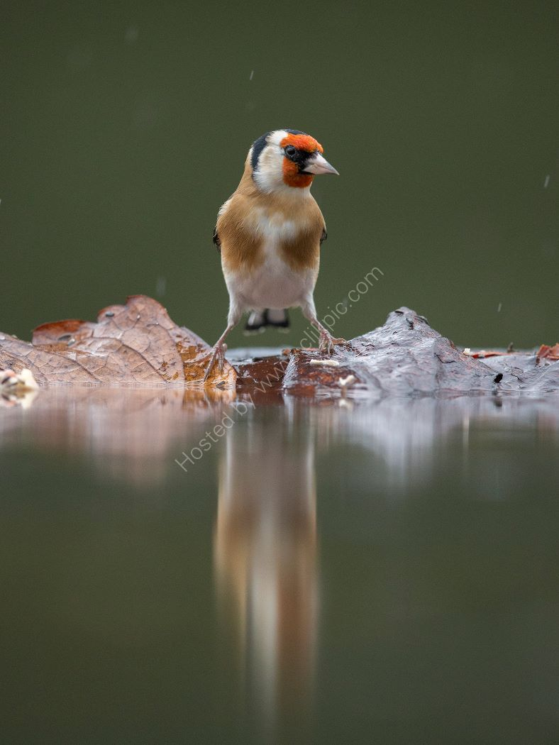 Reflection of a Goldfinch
