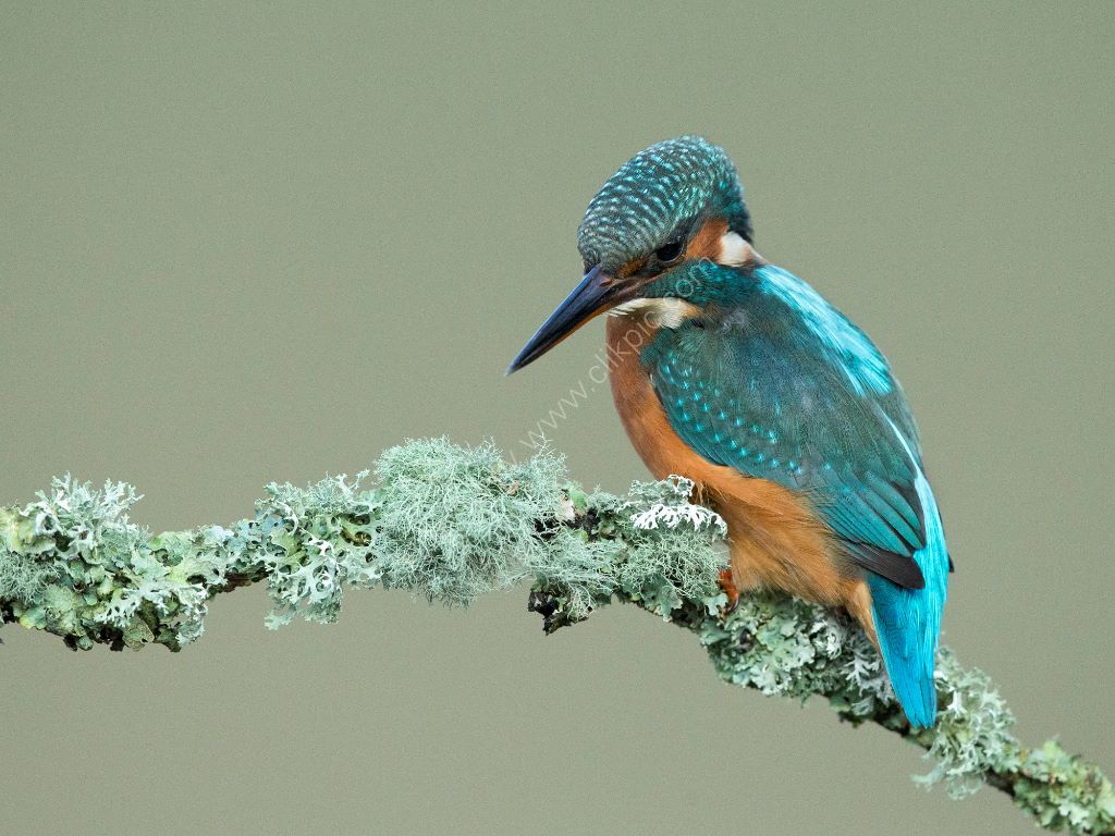 Kingfisher 6