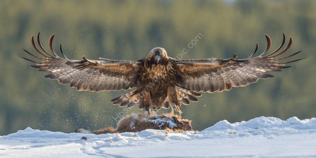Golden Eagle 39