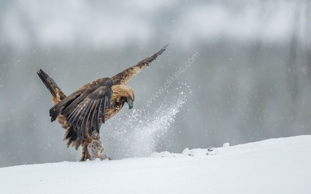 Golden Eagle 8