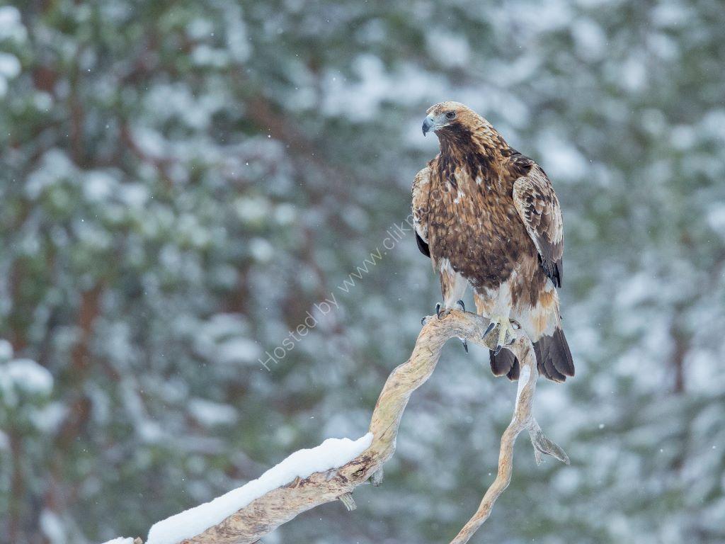 Golden Eagle 21