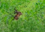 Rabbit in a fleld