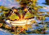 Frog portatrit