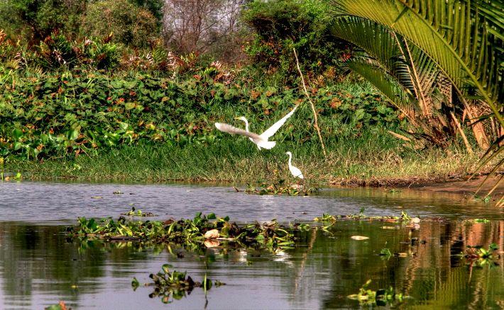 Egret in Thu Thiem