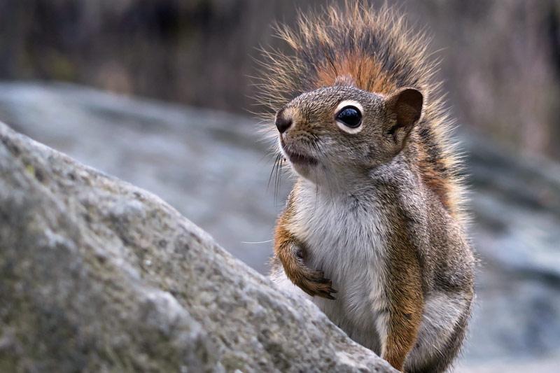 Écureuil roux aux aguets