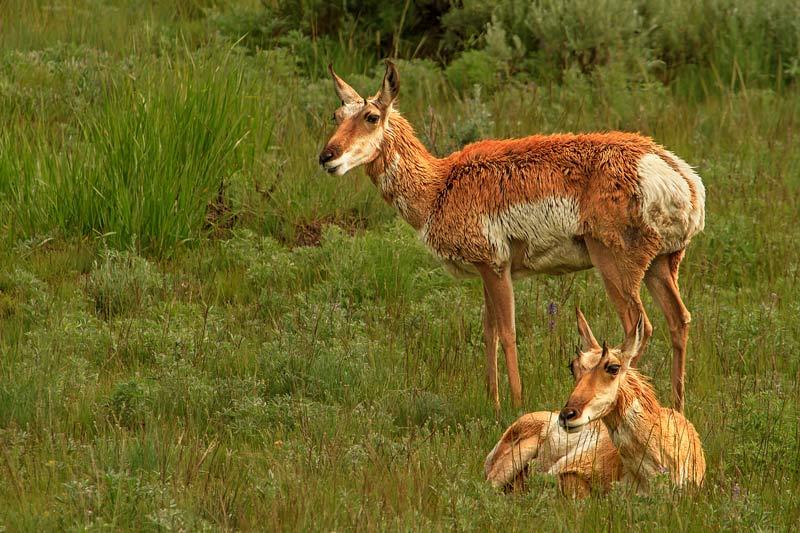 Antilopes Pronghorn femelles 1