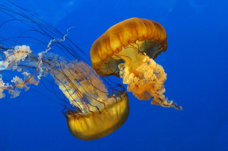 Deux méduses