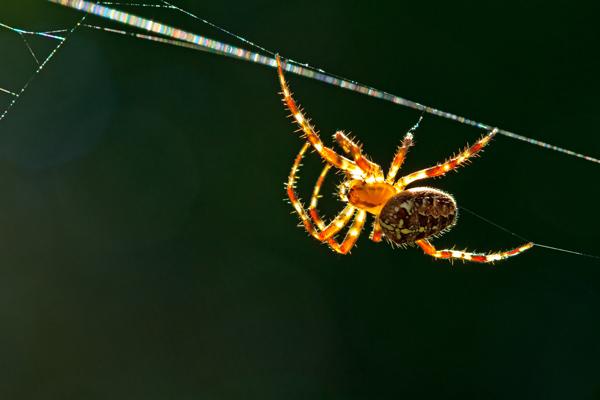 Araignée tissant sa toile à contrejour