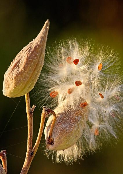 Asclépiade semant ses graines à l'automne