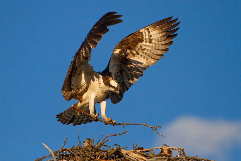 Balbuzard atterrissant sur son nid au coucher du soleil - 1