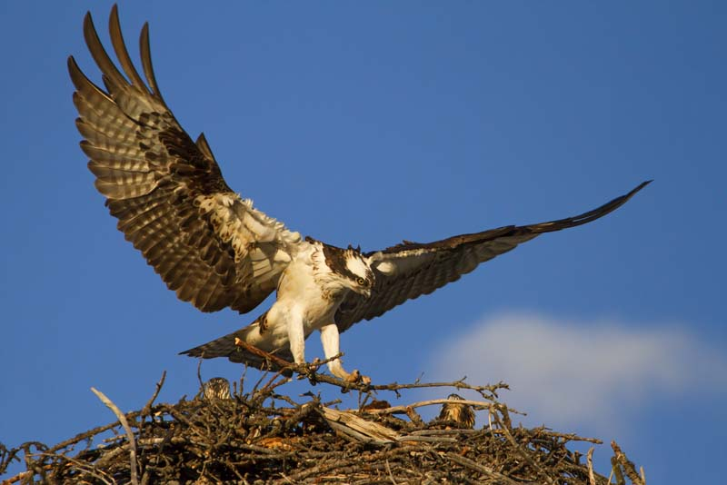 Balbuzard atterrissant sur son nid au coucher du soleil - 2