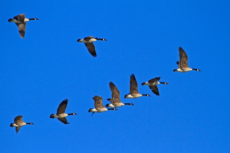 Bernaches du Canada volant en formation 1