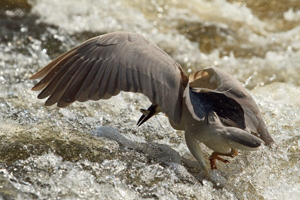 Bihoreau gris avec poisson dans les rapides