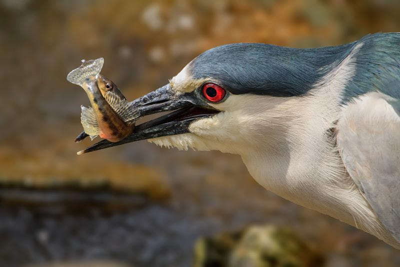 Bihoreau capturant un poisson