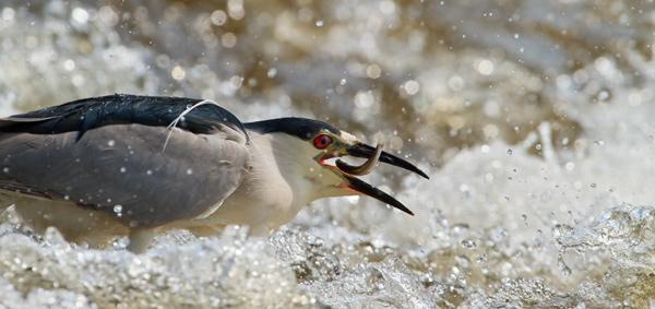 Bihoreau gris happant un poisson dans les rapides