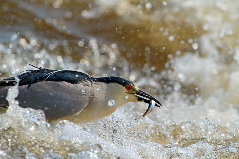 Bihoreau gris capturant un poisson dans les rapides 2