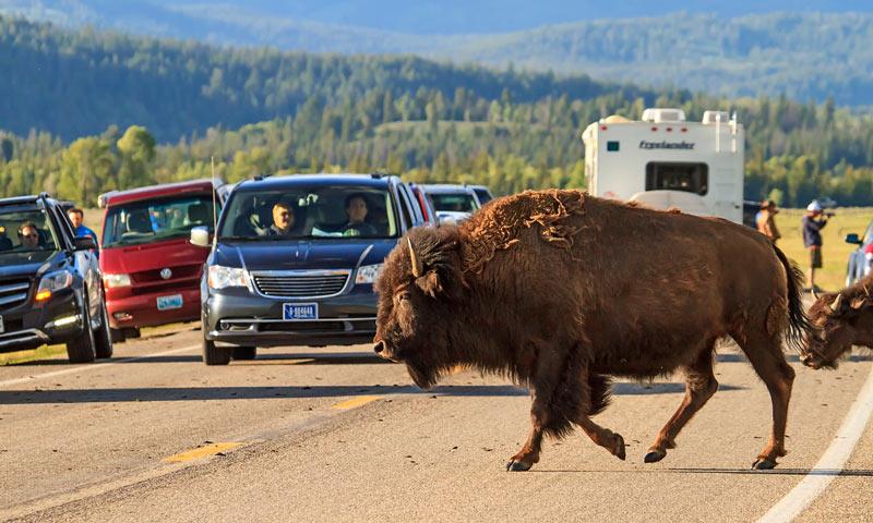 Bison traversant la route