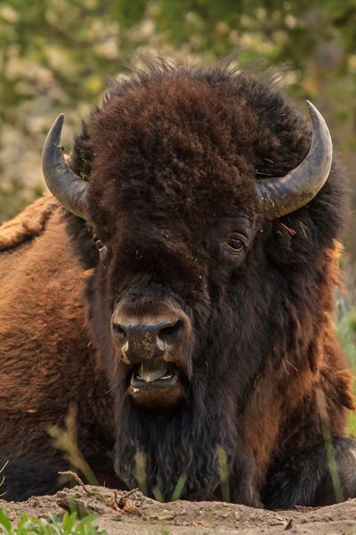 Bison - Gros-plan
