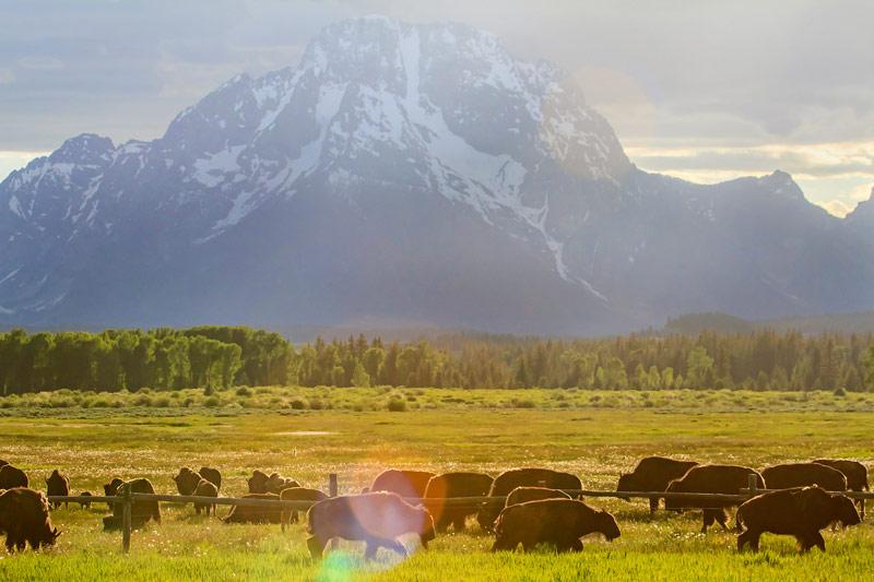 Troupeau de bisons et le Mont Moran