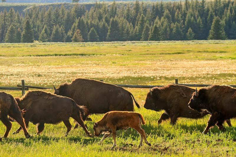Bison troupeau jeune galop