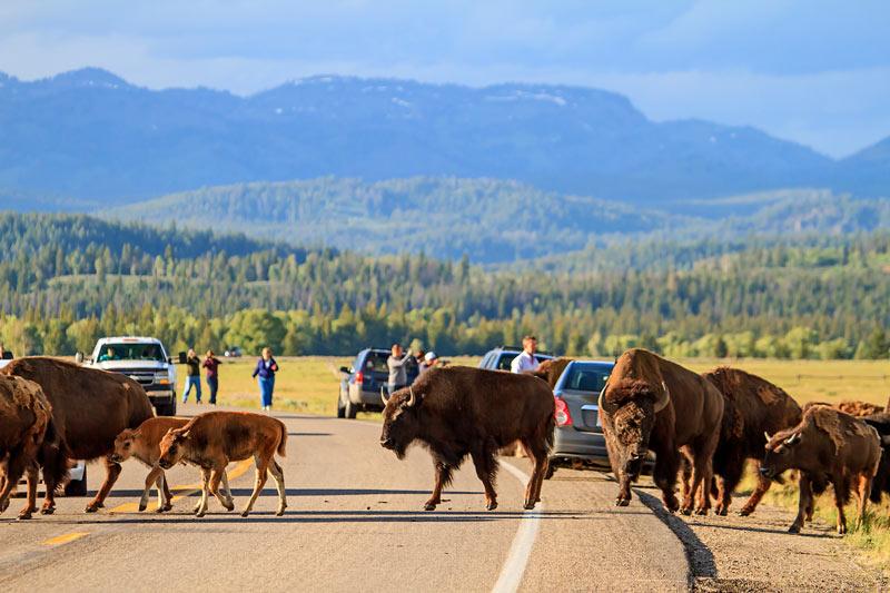 Troupeau de bisons traversant la route