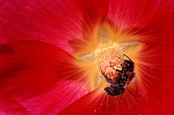 Bourdon dans fleur fuchsia