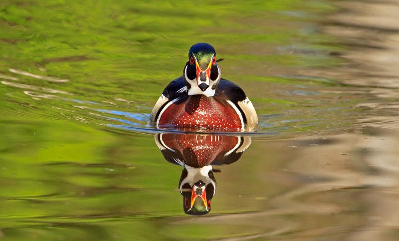 Canard branchu mâle de face au printemps