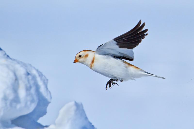 Bruant des neiges en vol