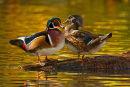 Couple de canards branchus face à face à l'automne