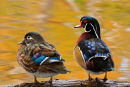 Couple de canards branchu dans des reflets d'automne