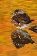 Canard branchu femelle au repos à l'automne