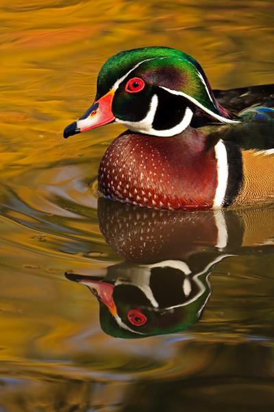 Canard branchu mâle dans des reflets d'automne - Gros-plan