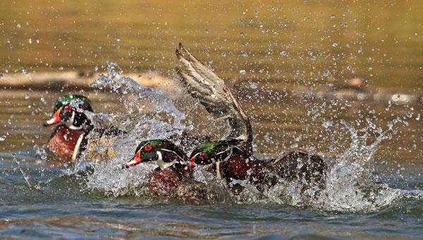 Canards branchus mâles en rivalité
