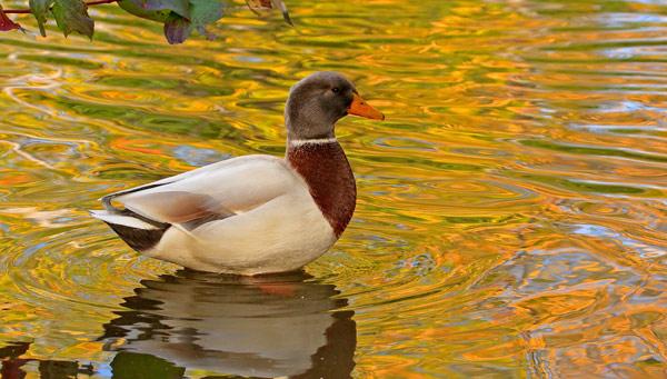 Canard non identifié à l'automne