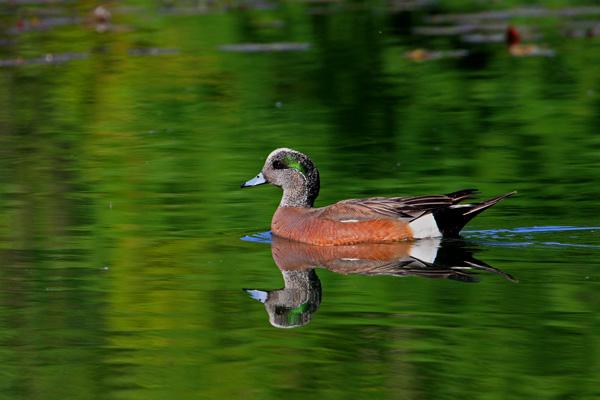 Canard siffleur d'Amérique mâle