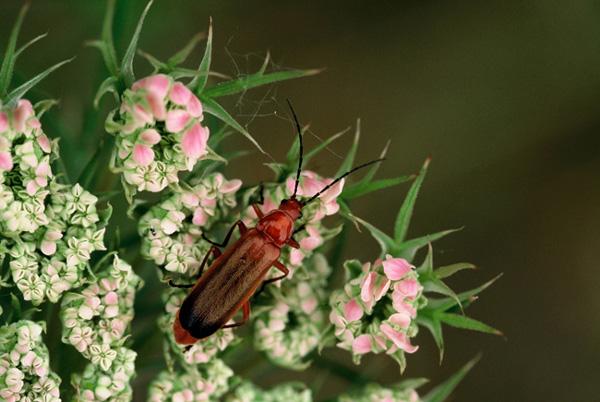 Cantharide sur fleur de carotte sauvage