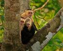 Famille de capucins à face blanche