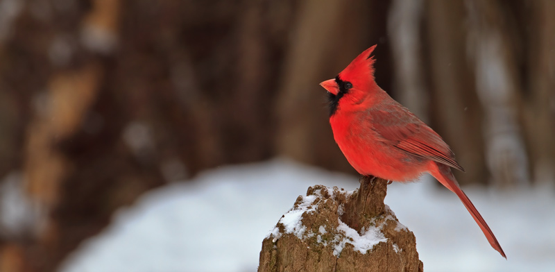 Cardinal rouge mâle sur souche en hiver