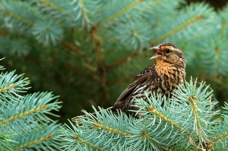 Carouge femelle protégeant son nid dans un conifère