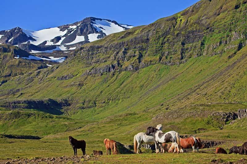 Chevaux islandais et montagnes