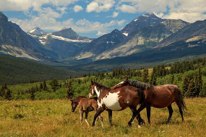 Chevaux devant les Rocheuses du Montana