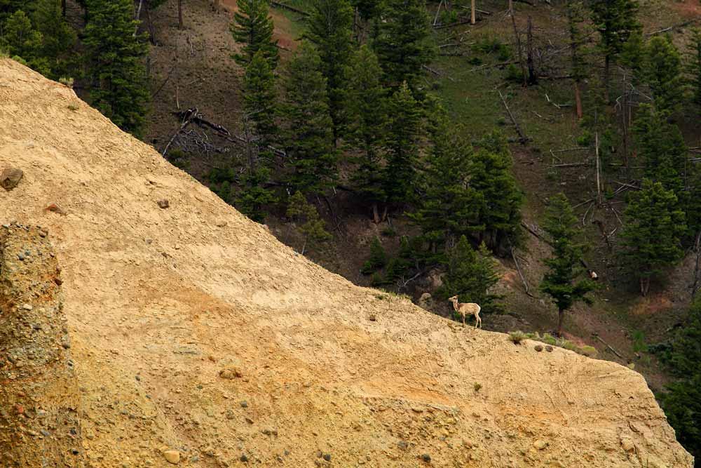 Mouflon femelle sur une crête
