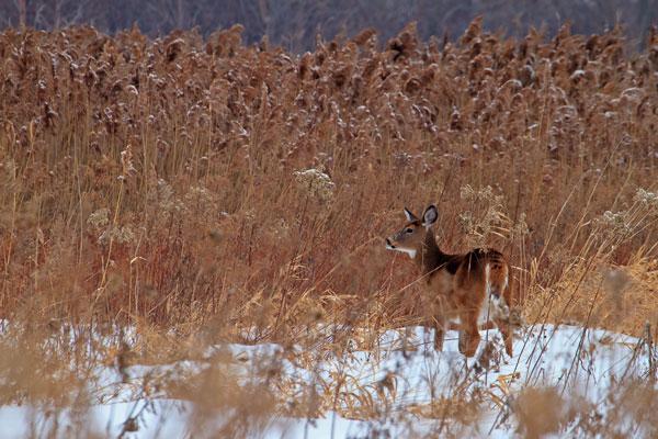 Cerf de Virginie parmi les roseaux en hiver